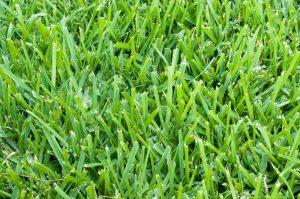 Florida grass - St. Augustine
