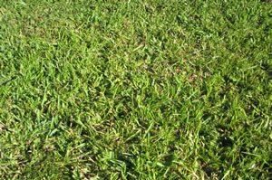Florida Grass Centipede